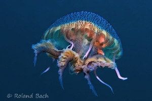 Mauve stinger (pelagia noctiluca) by Roland Bach 
